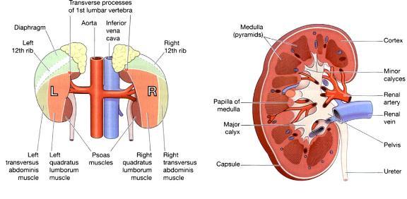 Ureters Kidney Bladder And Urethra